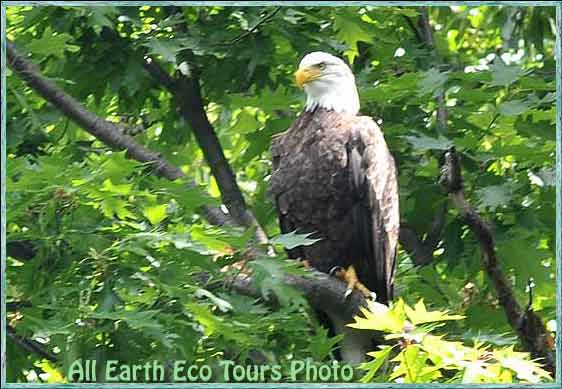 Maryland Eagle Watching Tours